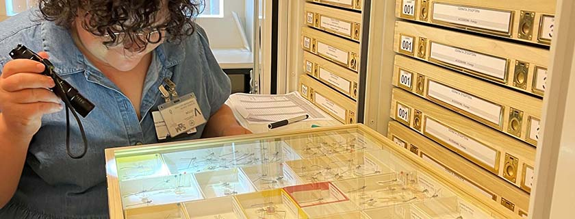 Conservator checking dragonfly collection